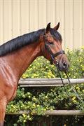 Horse for sale - ZENOR O'MAINE