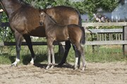 Horse for sale - Freestyle of XLNZ