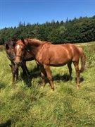 Horse for sale - KRINGS PIRUETT