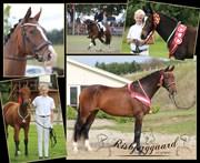 Hest til salg - RISBJERGGAARDS OLYMPIC