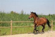 Hest til salg - MISS SAIGON