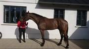 Horse for sale - IZACK AF HØIVANG