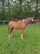 Horse for sale - GALLINI E