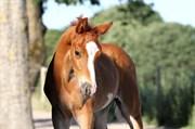 Horse for sale - GØRKLINTGÅRDS SARINJO