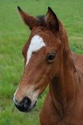 Horse for sale - SPANGSØ'S STARLIGHT PIIHL