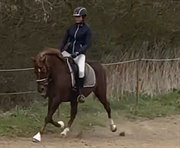 Horse for sale - Grestedgaards Safir