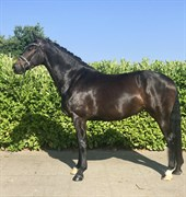 Horse for sale - BRANDTBJERGS OPAL