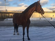 Hest til salg - FREDLUNDS DUCHESS