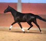 Horse for sale - DMJ SEZUANKA