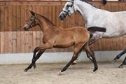 Horse for sale - SOLBAKKEN'S FREEZIA