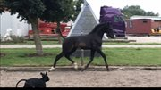 Horse for sale - FREDENSDALS NAIL IT