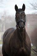 Horse for sale - PELLEGRINA