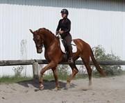 Hest til salg - Solbakken's Zenvo