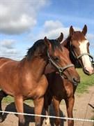 Hest til salg - UNDERBERG AX