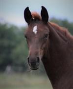 Horse for sale - BØGGILDS BELFAST