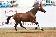 Horse for sale - SKAARUPS REVOLUTTI