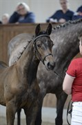 Horse for sale - KIRKELODGAARD'S CHAMPION