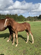 Horse for sale - LYNGBAKGAARD'S ZANDIEGO