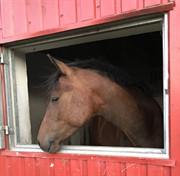 Horse for sale - HAAHR'S DR. DENIM