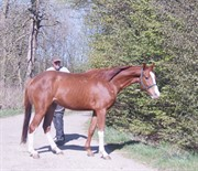 Horse for sale - MOELLEAAENS EVEREST