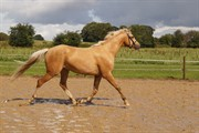 Hest til salg - HEDEGAARDS CHRISPY HIT
