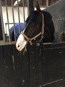 Horse for sale - GODWIN SB Z