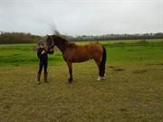 Hest til salg - AMMINION