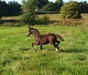 Horse for sale - ELVERSØES LOVELY