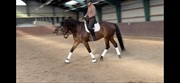 Hest til salg - HOLSTEGÅRDS LOVEJOY