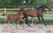 Horse for sale - Clarkson FF - Top springføl