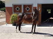 Horse for sale - ZENITH