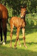 Horse for sale - NORDSTRANDS FRANSISKA
