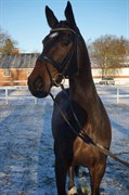 Hest til salg - NIEUWMOEDS LAURA
