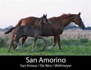 Horse for sale - SAN AMORINO