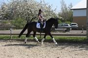 Horse for sale - GOZET BARON