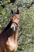 Horse for sale - Øgårdens Filippa