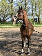 Horse for sale - HAAHR'S TALA