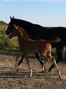 Hest til salg - Kirsebærgårdens Martini Royal
