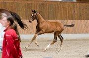 Horse for sale - RIBJERGS ZENVO
