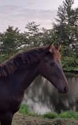 Horse for sale - BGR SECONDANT