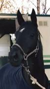 Horse for sale - BELLIS