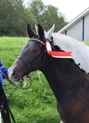 Horse for sale - SØGAARDS MOONWALKER