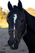 Hest til salg - UMERO R
