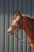 Horse for sale - VASEHØJS ZAHRINA